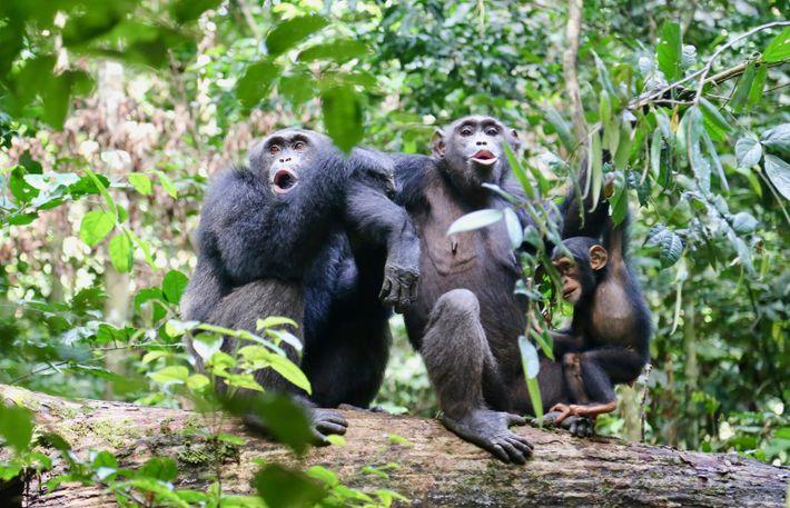Schimpansen im Taï-Nationalpark beim Verständigen mit anderen Schimpansen in ihrer Nähe.