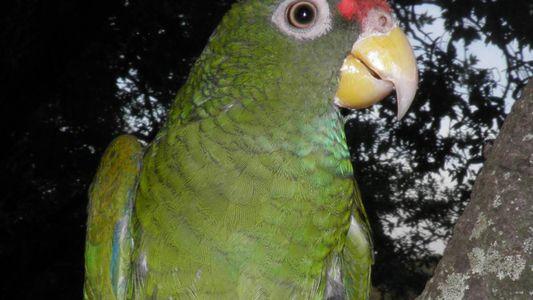 Neue seltene Papageienart klingt wie ein Habicht