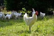 Hühner aus ökologischer und nachhaltiger Zucht.
