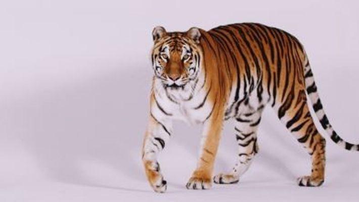 Internationaler Tag des Tigers