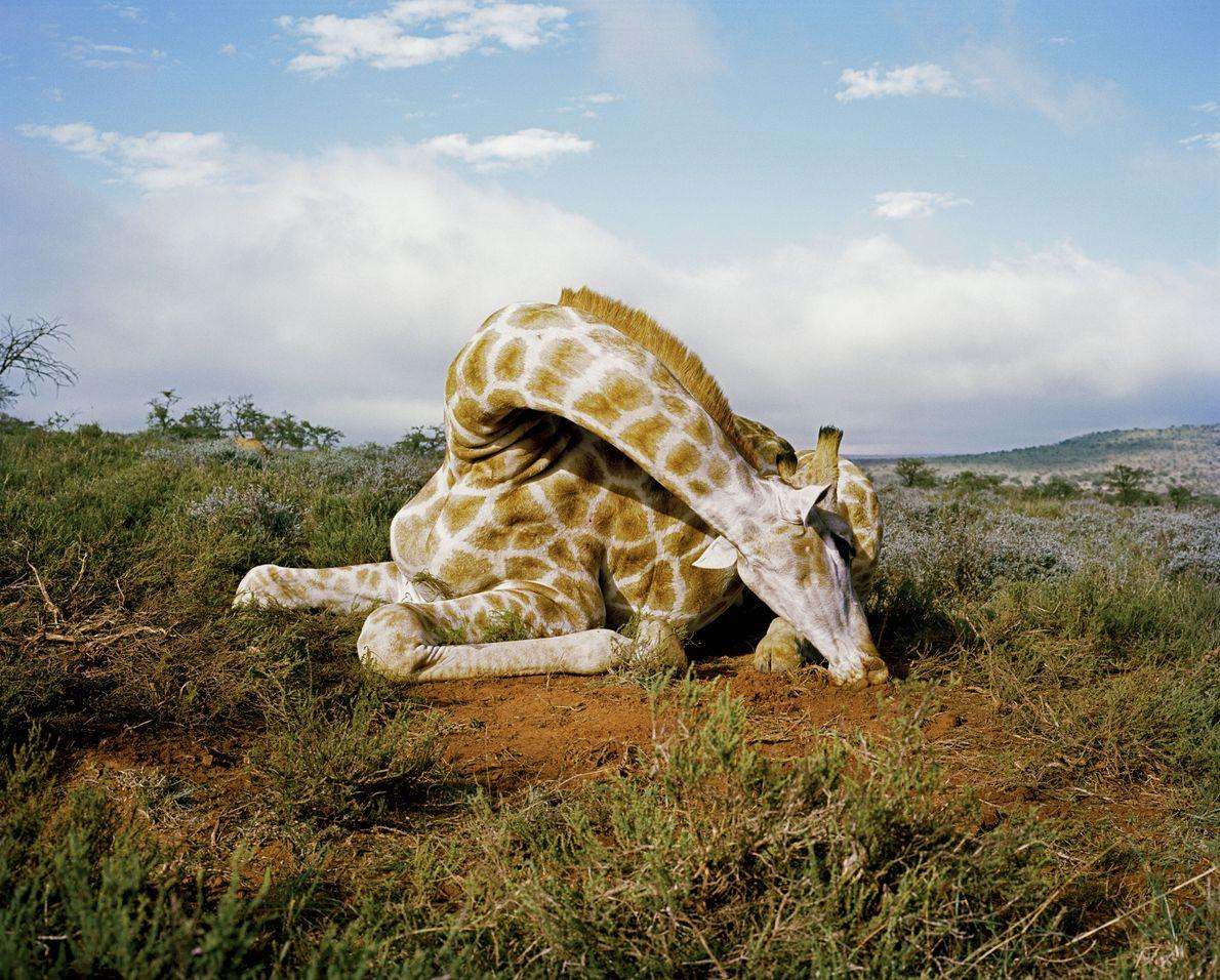 Tote Giraffe auf einer Wildfarm in Ostkap
