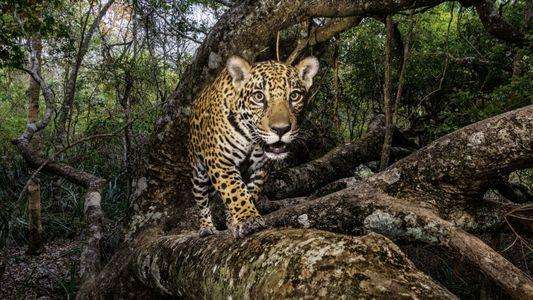 Im Schattenreich der Jaguare