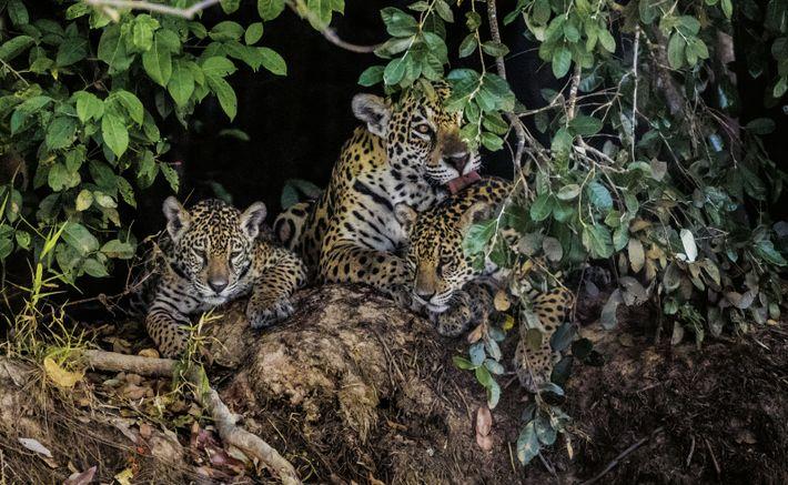 Jaguarweibchen mit Jungen