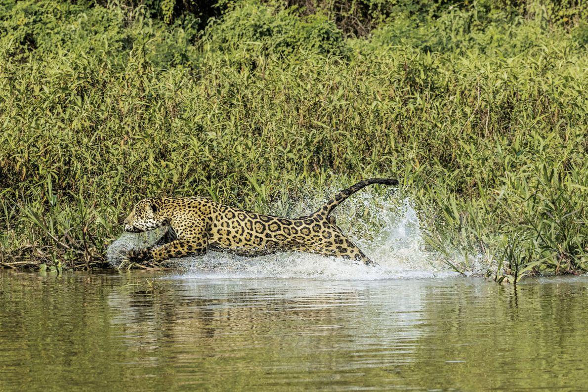 Jaguar jagt