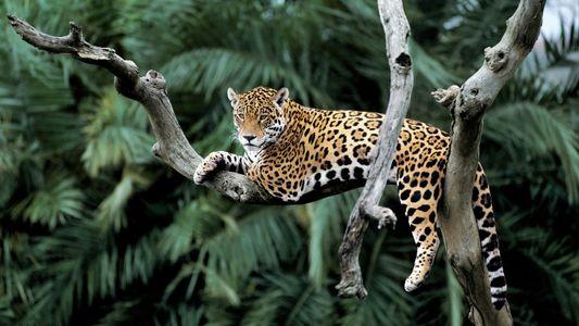 Fünf Fakten über den Jaguar