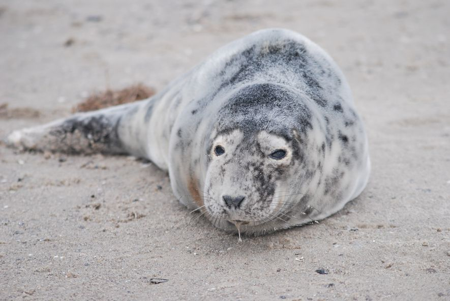 Störungen durch Menschen und Haustiere bedrohen die Robben: Dieses Jungtier wurde von einem Hund gebissen.