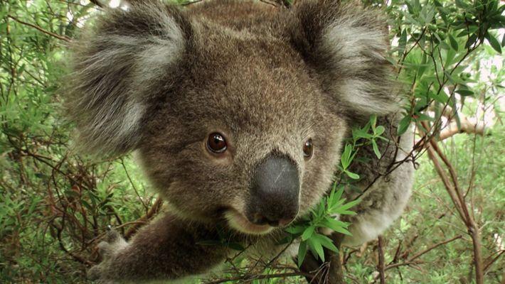 Koalas – am Rande der Ausrottung