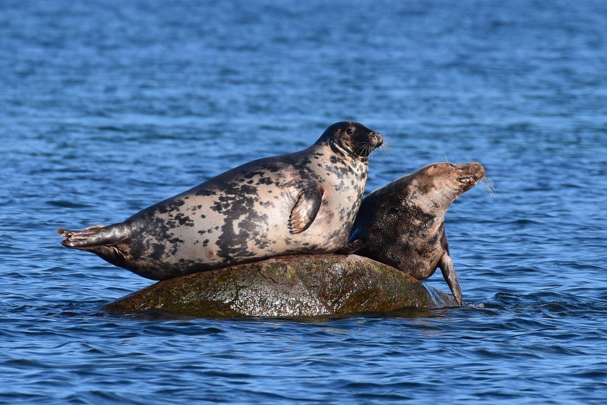 Kegelrobben vor der Greifswalder Oie. Das Weibchen (links) hat ein helles Fell mit dunklen Punkten, das ...