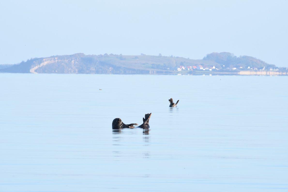 Robben vor Rügen