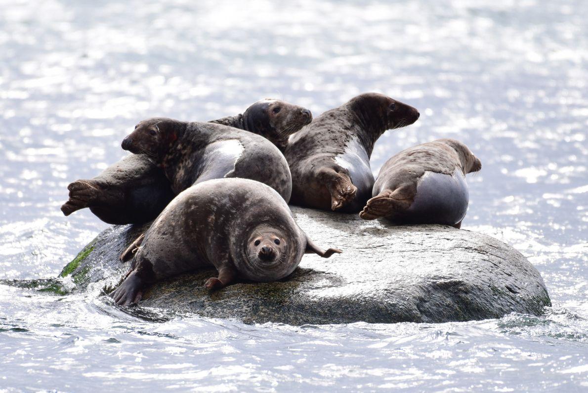 Kegelrobben auf einem Findling vor der Insel Greifswalder Oie. Dort kann man die Meeressäuger inzwischen ganzjährig ...