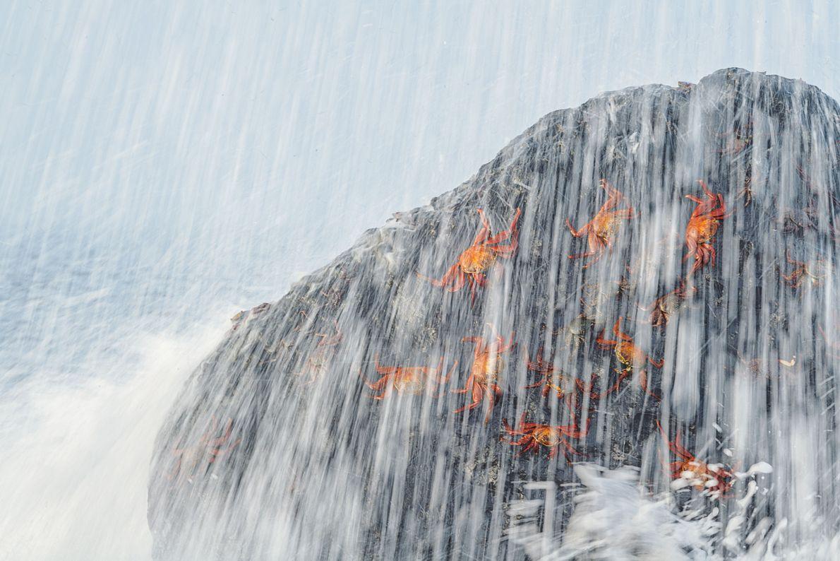 Rote Klippenkrabben klammern sich auf der Isla Fernandina an einen von der Flut umtosten Felsen. Die ...