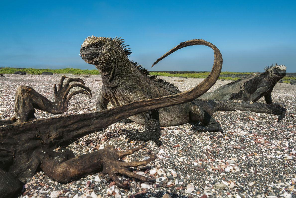Auf der Isla Fernandina laufen Meerechsen an einem toten Artgenossen vorbei, der offenbar verhungert ist. Die ...