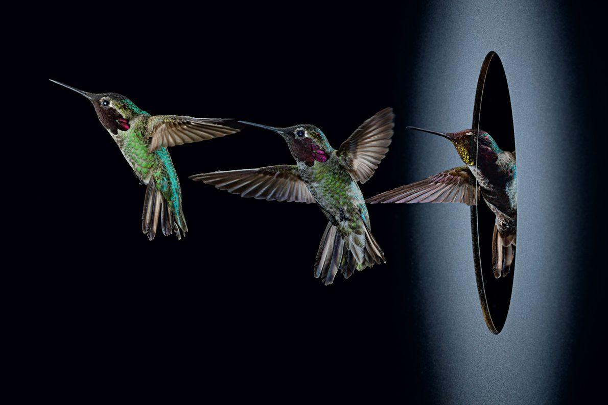 Kolibri vollführt Flugmanöver
