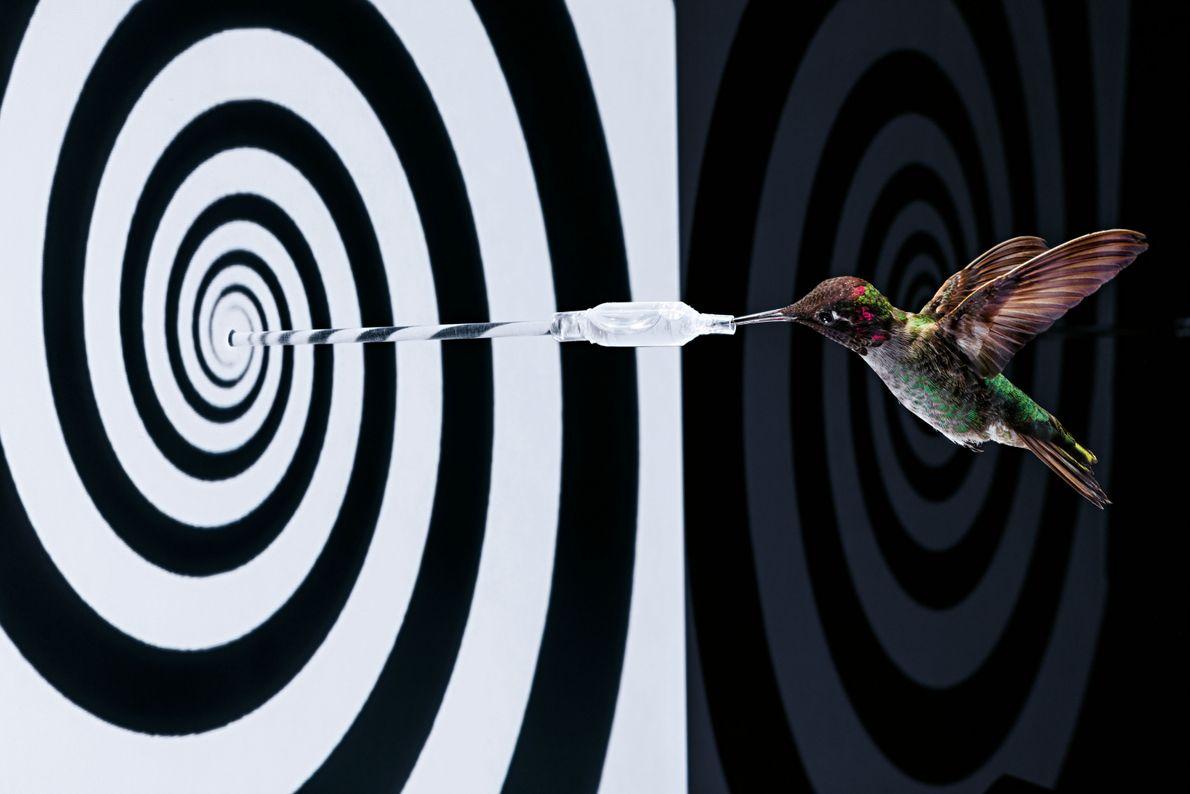 Kolibri vor Spiralscheibe