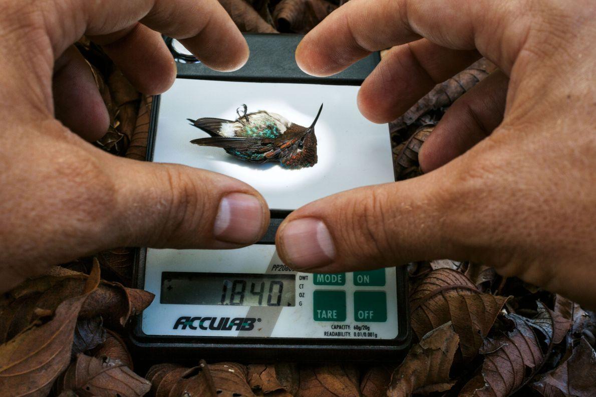 Kolibri auf einer Waage
