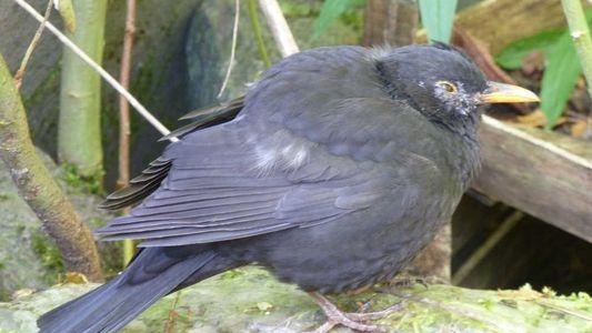 Vogelsterben in Deutschland: Usutu-Virus breitet sich weiter aus
