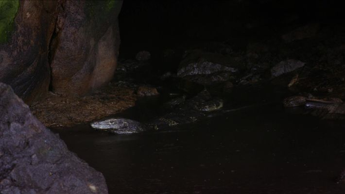Bindenwaran jagt Fledermäuse in einem See aus Guano