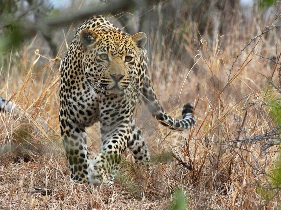 Sieben erstaunliche Fakten über Leoparden