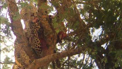 Kannibalismus unter Leoparden