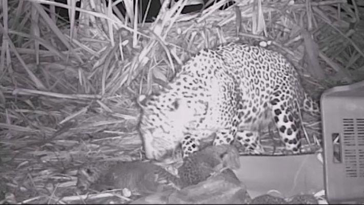 Leopardenmutter und Jungtiere wieder vereint