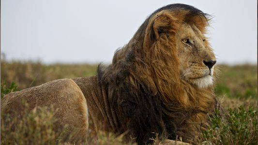 Wissen kompakt: Löwen