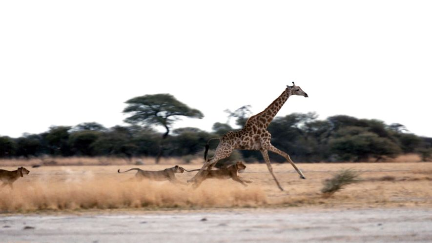 Lions hunt girafe
