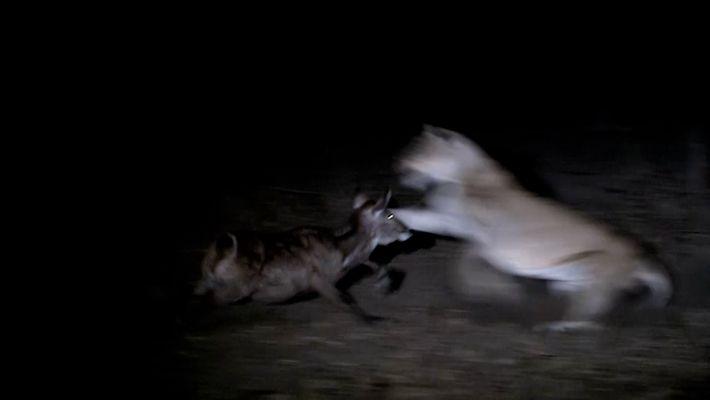 Löwen jagen in der Nacht