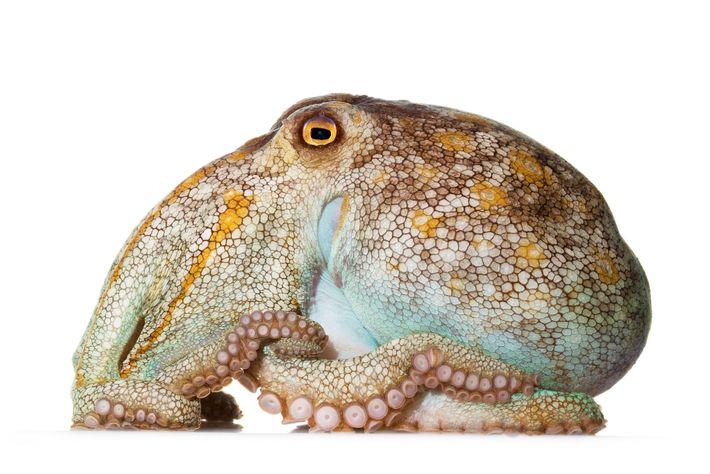 Octopus pallidus, der gedrungene, eher kurzarmige Blasse Krake, lebt vor der Südostküste Australiens. Er ernährt sich ...
