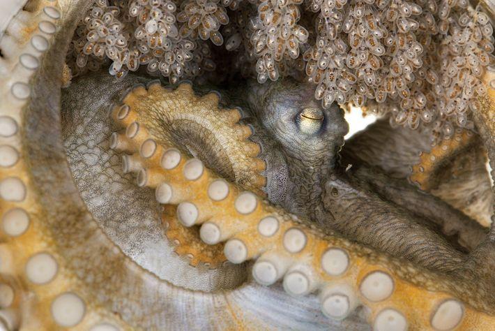Dieses Weibchen gehört zu einer Art, die wissenschaftlich noch beschrieben werden muss. Es hütet seine Eier ...