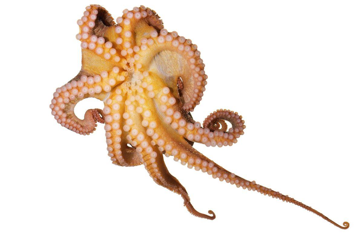 Oktopusse – oben ein Roter Pazifischer Krake (Octopus rubescens) – können jeden Saugnapf einzeln biegen und ...