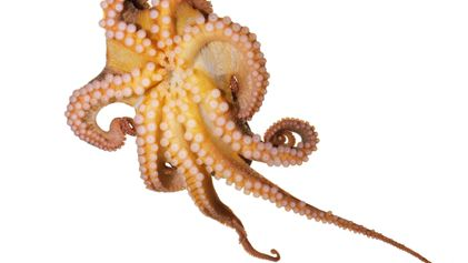 Why Do Octopuses Remind Us So Much of Ourselves? - 1