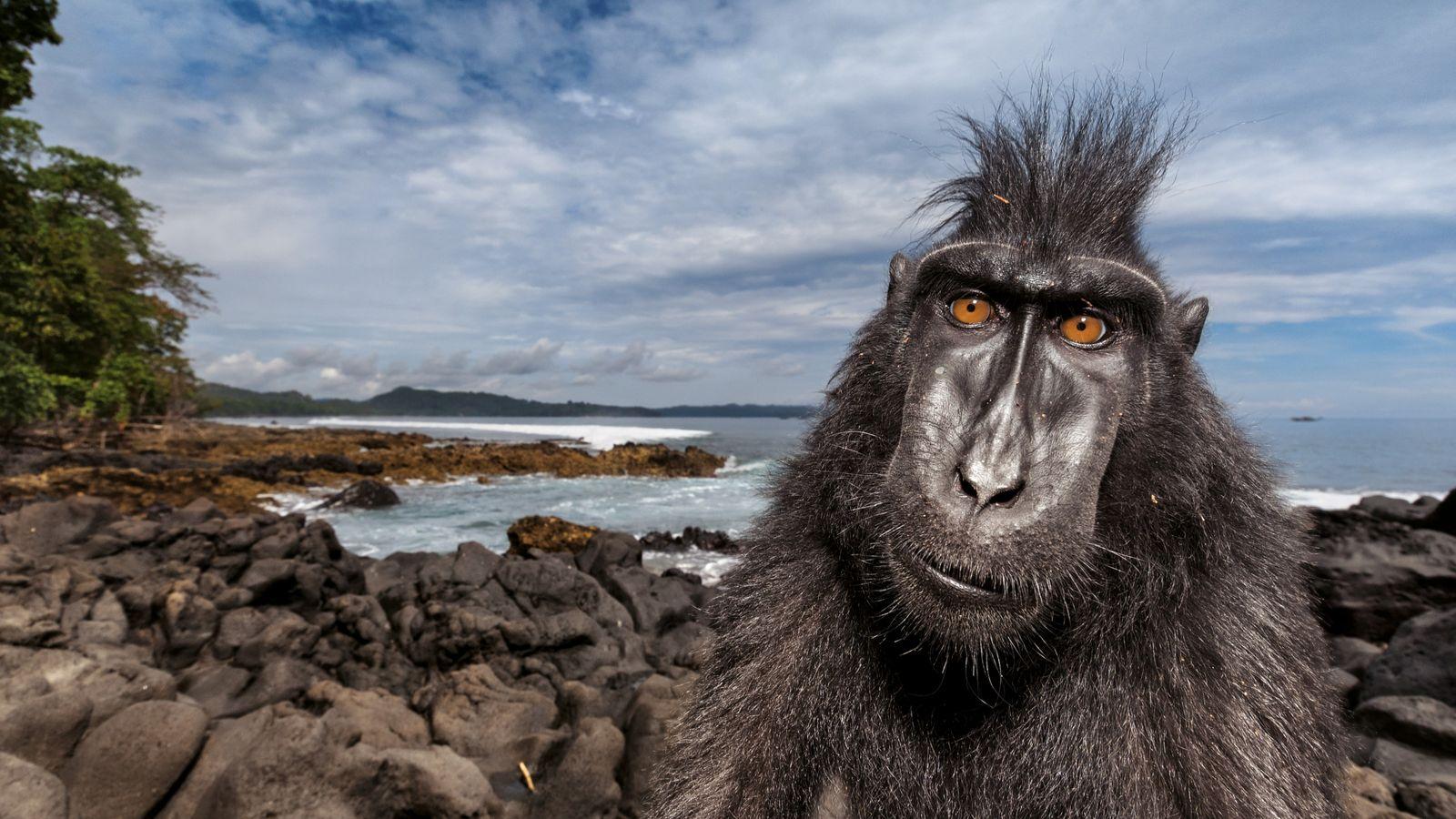 Ein Schopfmakak am Strand eines Naturreservats im Nordosten der Insel Sulawesi. Forscher studieren dort das Sozialverhalten ...