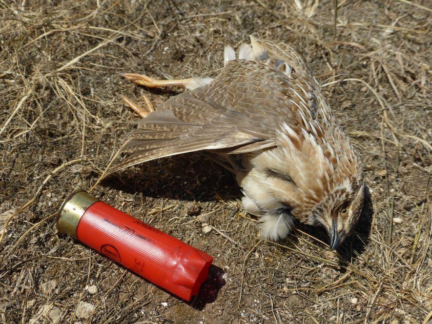 Vogelsterben: Jagd beschleunigt Artenschwund