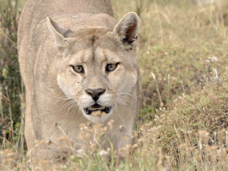 Sieben erstaunliche Fakten über Pumas