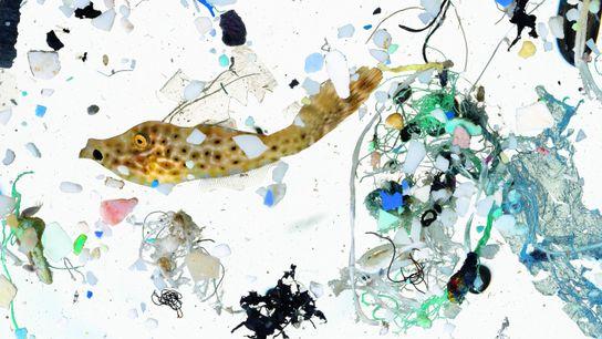 Der ölige Oberflächenfilm auf diesem Foto, in dem viele Meeresfische aufwachsen, ist reich an Plankton und ...