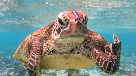 """Terry the Turtle"" | Echte Karettschildkröte | Australien"