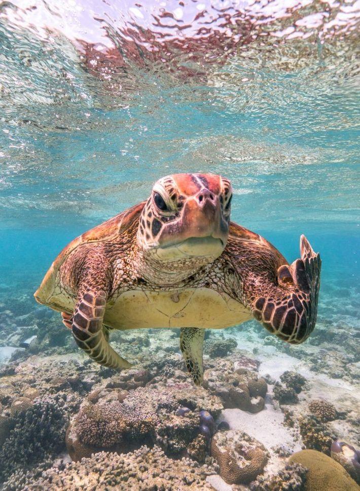 """Terry the Turtle""   Echte Karettschildkröte   Australien"