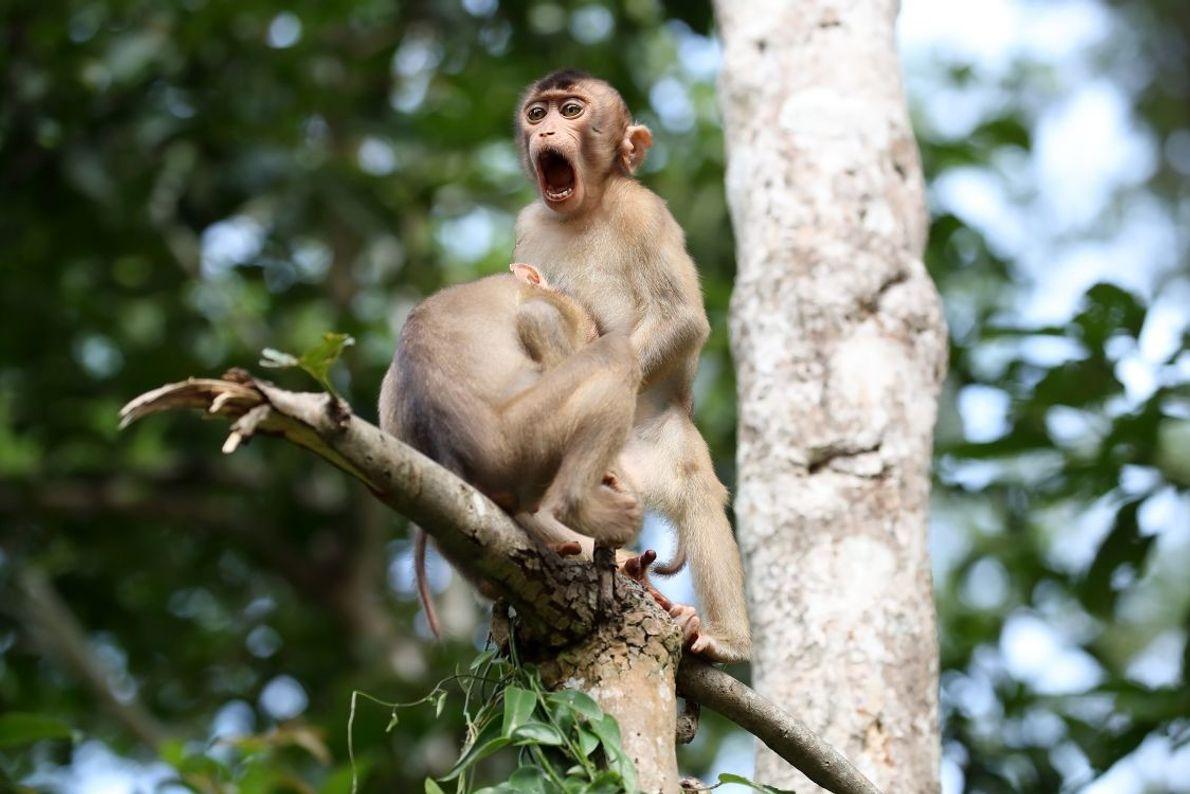 """Monkey Business"" | Schweinsaffen | Malaysia"
