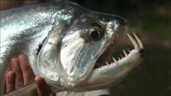 Ein Fisch mit Vampirzähnen