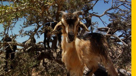 Die Baumziegen von Marokko
