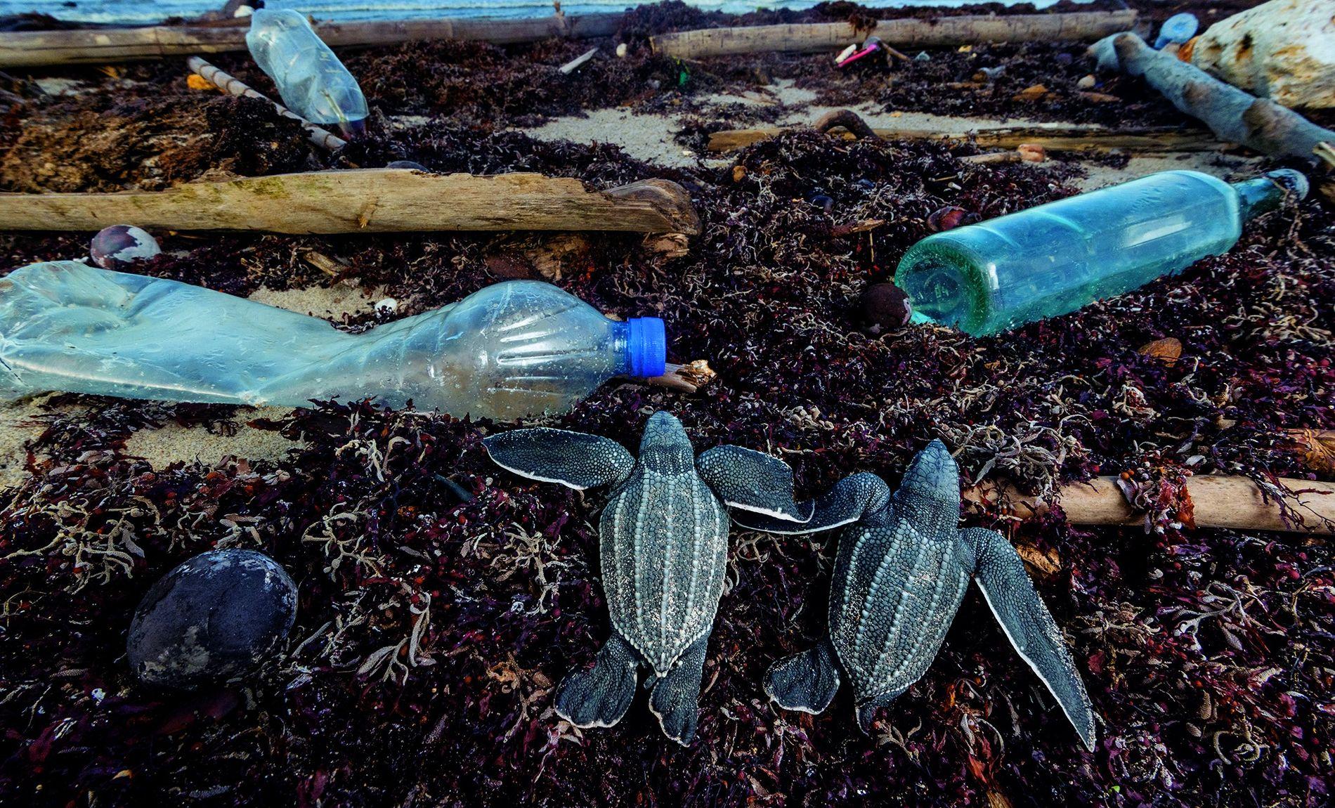 Wenn die frisch geschlüpften Lederschildkröten am Matura Beach in Trinidad Richtung Meer kriechen, treffen sie auf ...