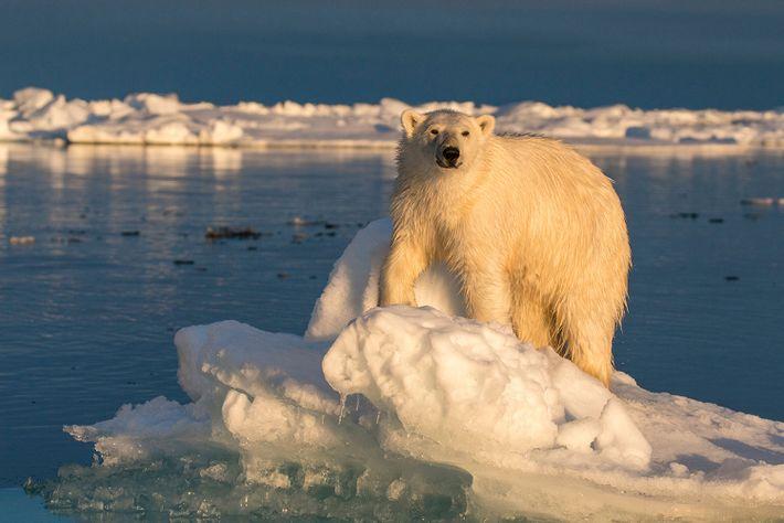 Eisbären sehen weiß aus, aber ihr Fell ist in Wahrheit transparent – es besteht aus winzigen hohlen ...