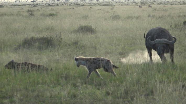 Büffel beschützen ein Kalb vor Hyänen