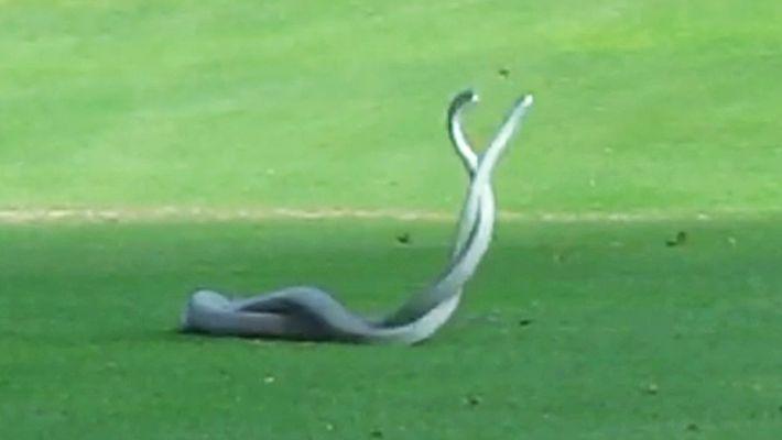 Zwei der tödlichsten Schlangen der Welt kämpfen auf einem Golfplatz