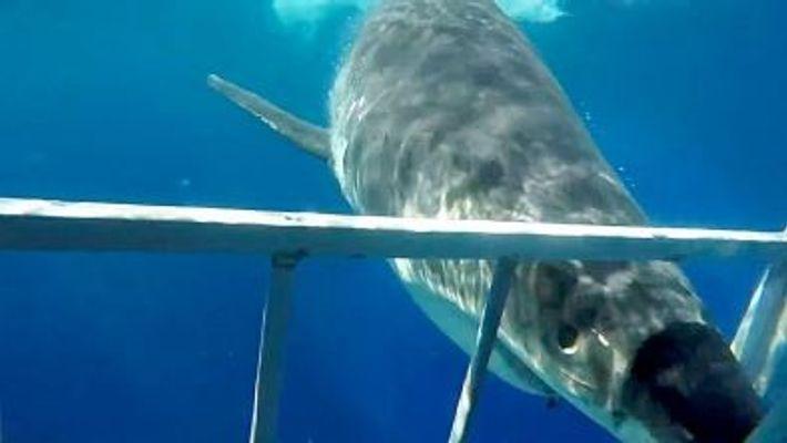 Weißer Hai kollidiert mit Taucherkäfig