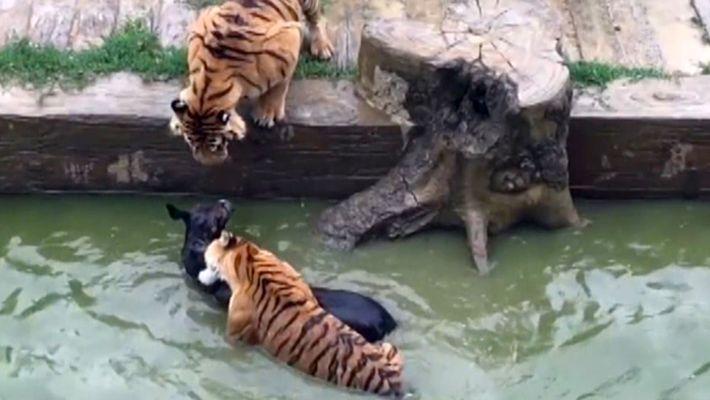 Chinesischer Zoo verfüttert lebenden Esel an Tiger