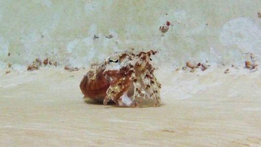 Dieses Meerestierchen gibt sich als Einsiedlerkrebs aus