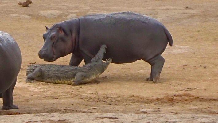 Junges Flusspferd versucht, mit einem Krokodil zu spielen