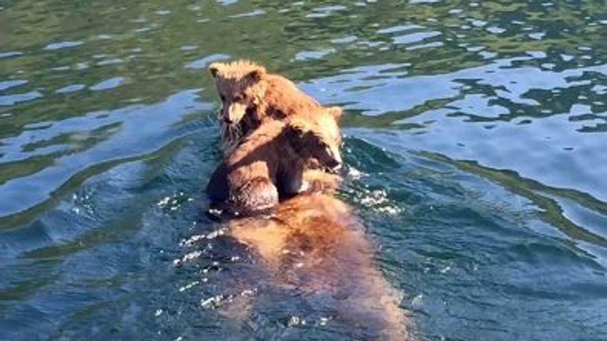 Bärenjungen reiten auf dem Rücken ihrer Mutter