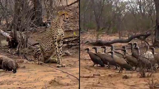 Aasgeier stehlen Gepardenfamilie die Beute